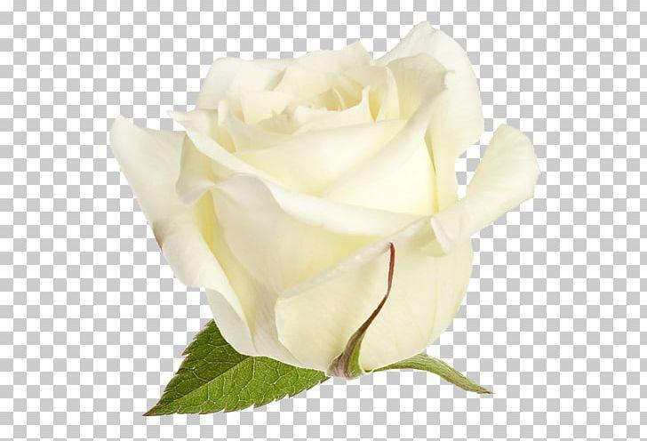 Garden Roses Cabbage Rose Floribunda PNG, Clipart, Beyaz, Beyaz Gul.