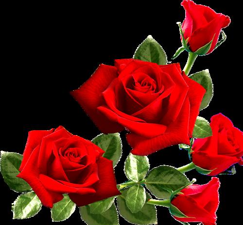 Kırmızı gül png 4 » PNG Image.