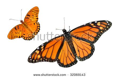 Beautiful Monarch Gulf Fritillary Butterfly Isolated Stock Photo.