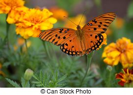 Picture of Gulf Fritillary Butterfly.