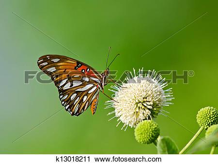 Stock Photography of Gulf Fritillary butterfly k13018211.