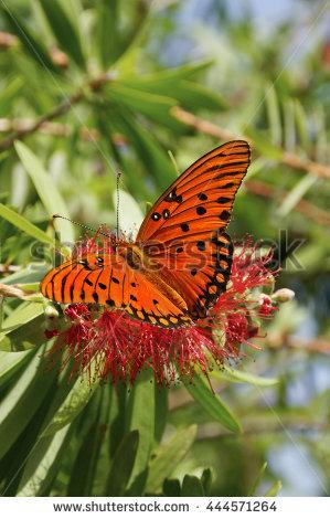 Gulf Fritillary Butterfly Stock Photos, Royalty.