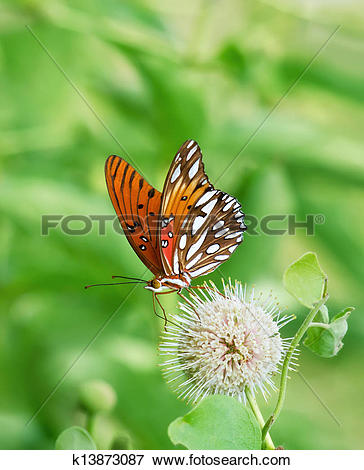 Picture of Gulf Fritillary butterfly k13873087.