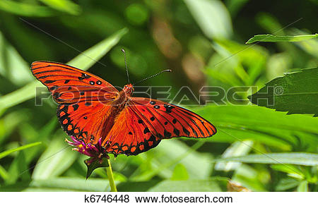 Pictures of Gulf Fritillary k6746448.