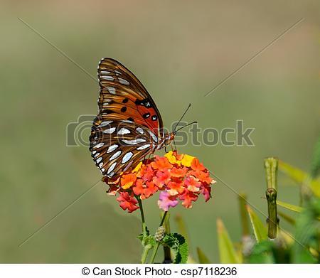 Stock Image of Gulf Fritillary Butterfly.