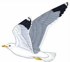 Free Gull Clipart.
