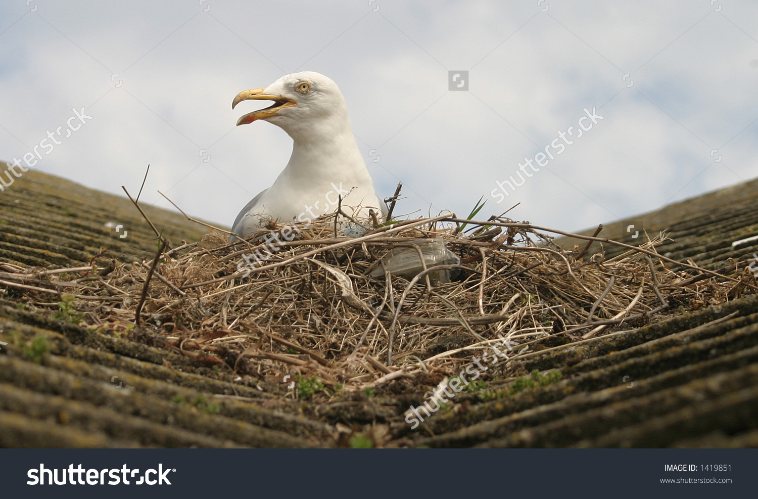 Seagull Sat On Nest. House Roof Uk. Stock Photo 1419851 : Shutterstock.