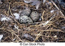 Stock Photography of Bird Herring Gull Eggs.
