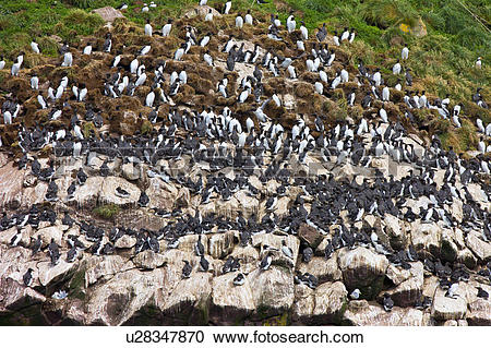Stock Photography of Common Murres, (Uria aalge) nesting on Gull.