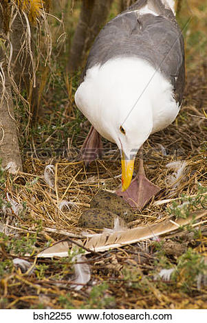 Stock Image of Western gull (Larus occidentalis) on nest, Anacapa.