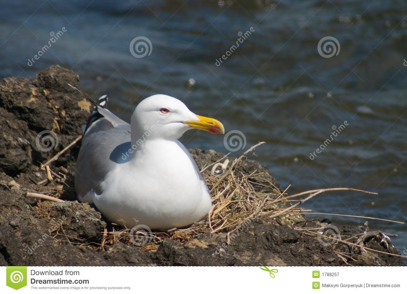 Gull nest clipart #16