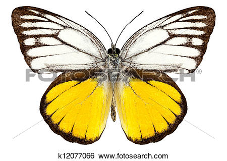 "Stock Images of Butterfly species Cepora aspasia ""orange gull."