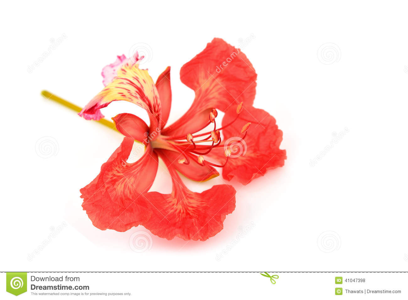 Gulmohar Flower White Background Stock Photos, Images, & Pictures.