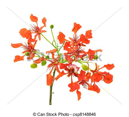 Pictures of Gulmohar Flowers.