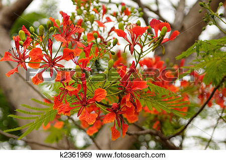 Stock Photograph of Gulmohar k2361969.