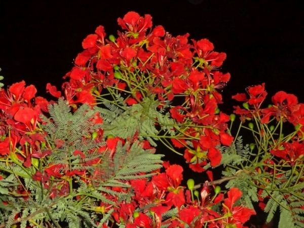 The Gulmohar Tree Photo.