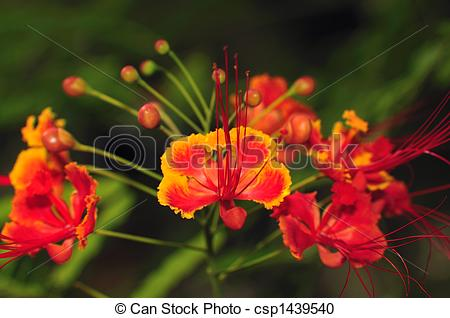 Gulmohar Stock Photo Images. 213 Gulmohar royalty free images and.