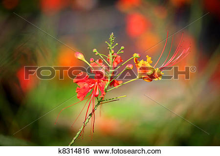 Stock Images of Gulmohar flower k8314816.