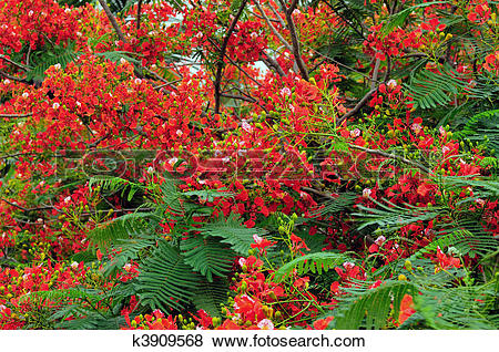Pictures of Gulmohar Flowers k3909568.