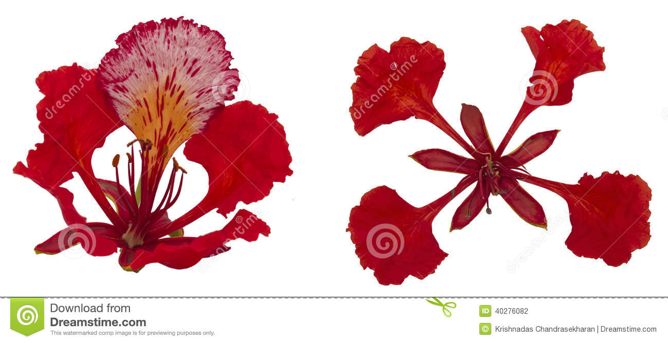 Gulmohar Flower In White Background. Stock Photo.