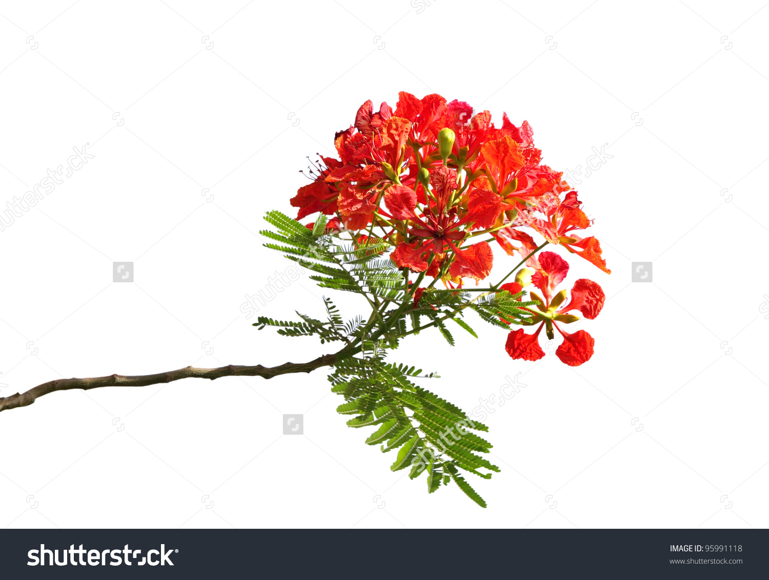 Beautiful Gulmohar Flowers Isolated On White Stock Photo 95991118.