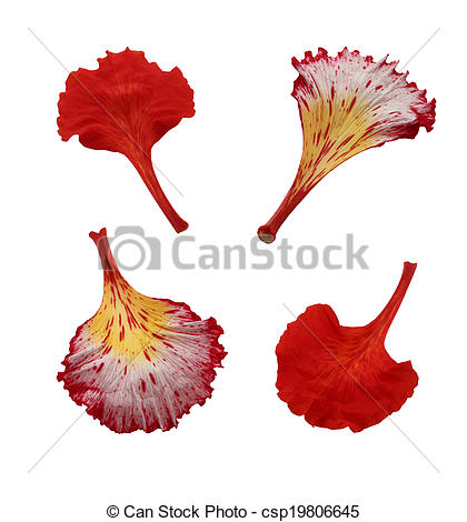 Stock Photo of Gulmohar flower in white background. A gulmohar.