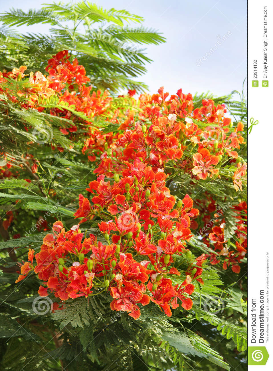 Beautiful Gulmohar Flowers Stock Photography.
