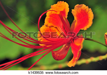 Stock Illustration of Gulmohar k1439535.