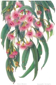 eucalyptus leaves and flowers. gum leaves, nuts and blossoms.