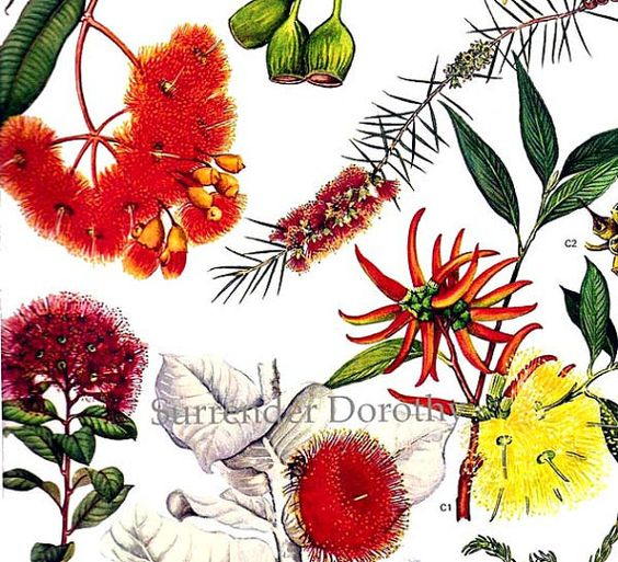 Eucalyptus & Gum Flowers Australia Plants Botanical Exotica 1969.