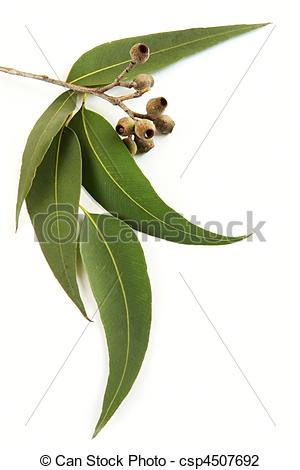 Gum leaf Stock Photo Images. 1,554 Gum leaf royalty free images.