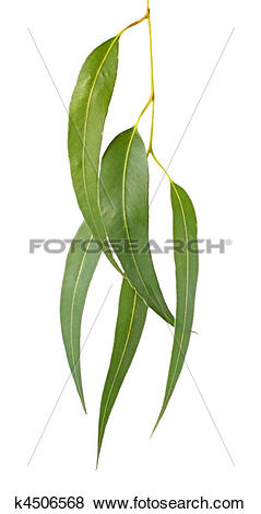 Pictures of Gum Leaves k4506568.