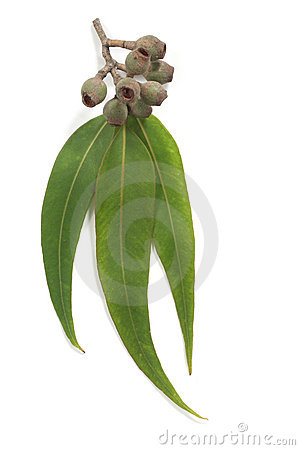 Gum Leaves Royalty Free Stock Images.