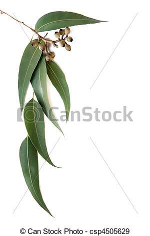 Gum leaf Stock Photo Images. 1,554 Gum leaf royalty free images.