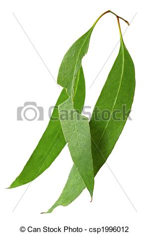 Stock Photo of Gum Leaves.