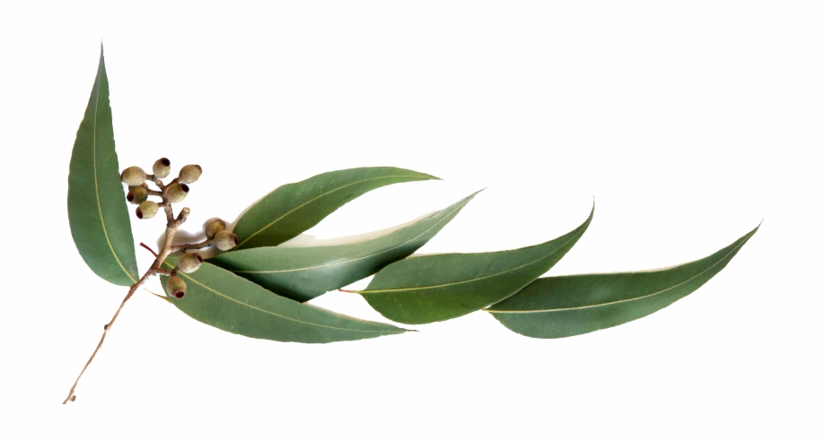Gum Leaves Png.