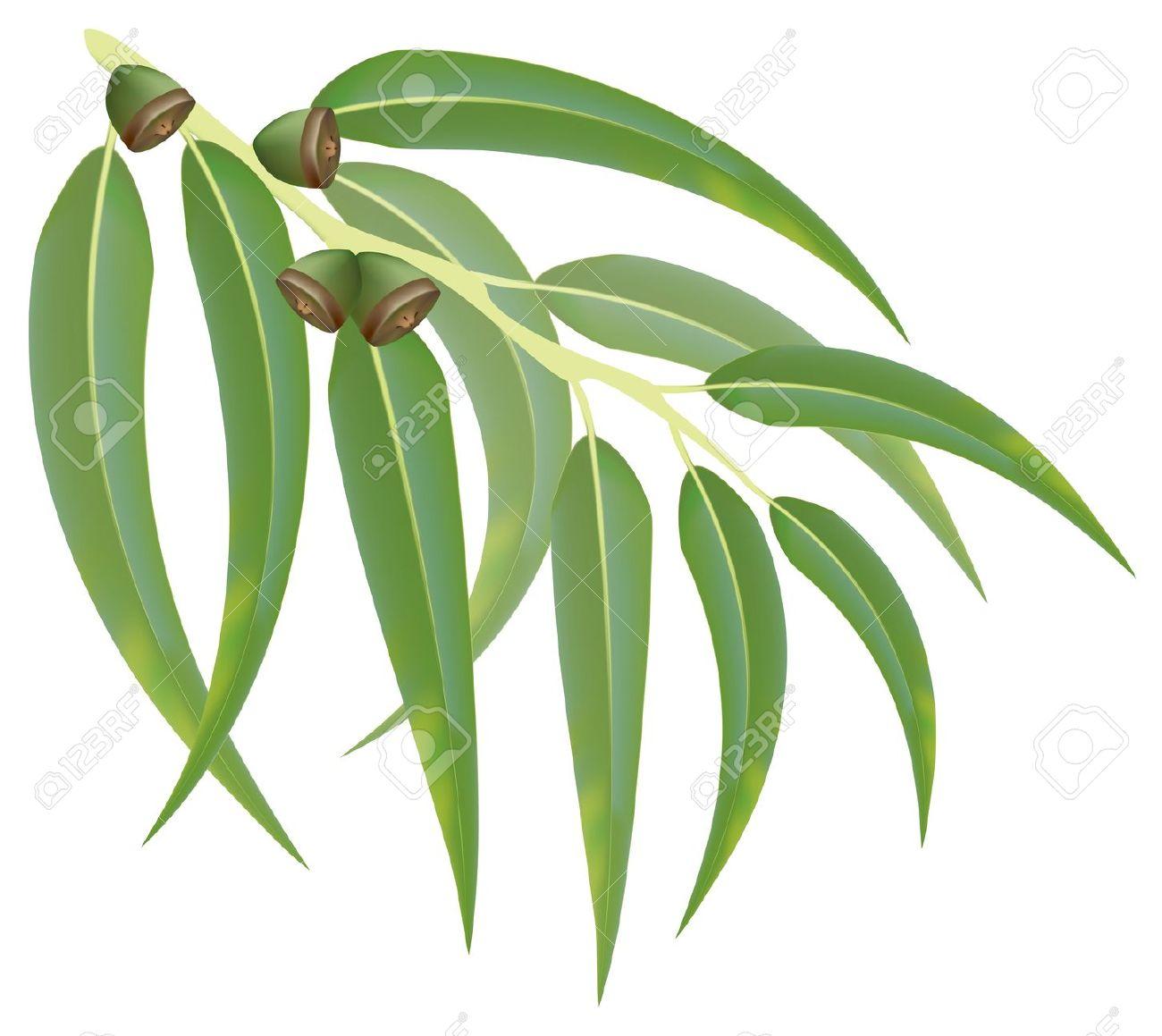 424 Eucalyptus free clipart.