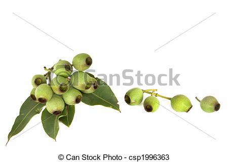 Gumnuts Stock Photo Images. 64 Gumnuts royalty free images and.