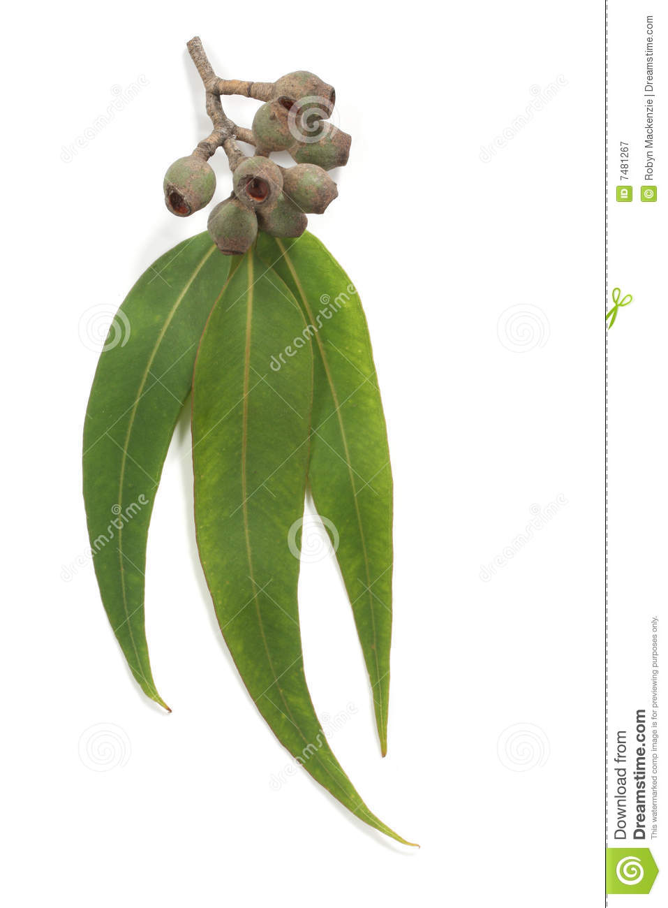 Gum Leaves And Gum Nuts Royalty Free Stock Photography.