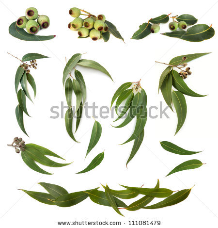 Eucalyptus Flower Stock Images, Royalty.