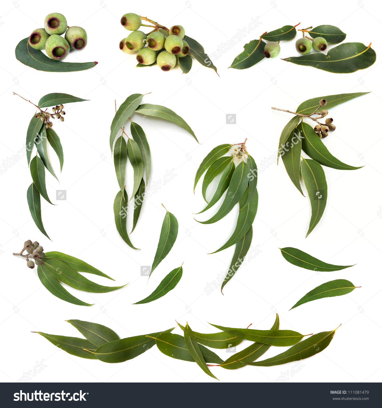 Collection Eucalyptus Leaves Gum Nuts Isolated Stock Photo.