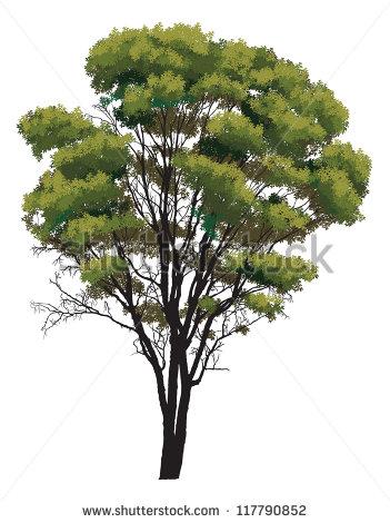 Eucalyptus Tree Stock Photos, Royalty.