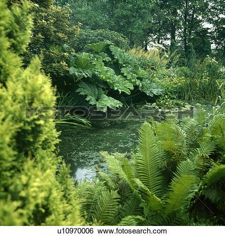 Stock Images of Green ferns and Gunnera Manicata around woodland.