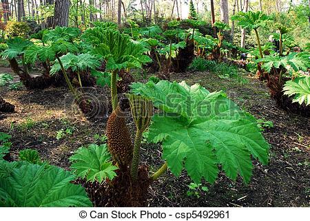 Stock Photography of Giant rhubarbs (Gunnera manicata) with fruits.