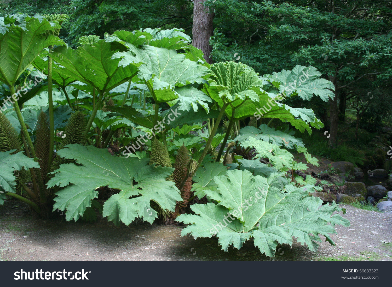 Large Specimen Gunnera Manicata Plant Chile Stock Photo 56633323.