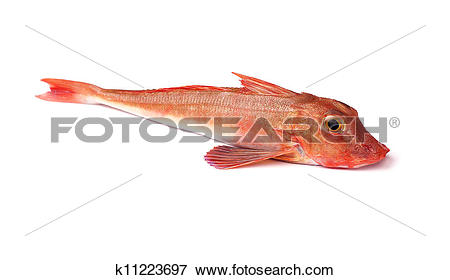 Picture of Red Gurnard Fish k11223697.