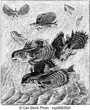 EPS Vector of Flying gurnard or Dactylopterus volitans, vintage.