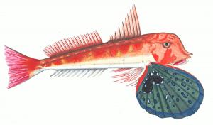 Gurnard Searobin Clip Art Download.
