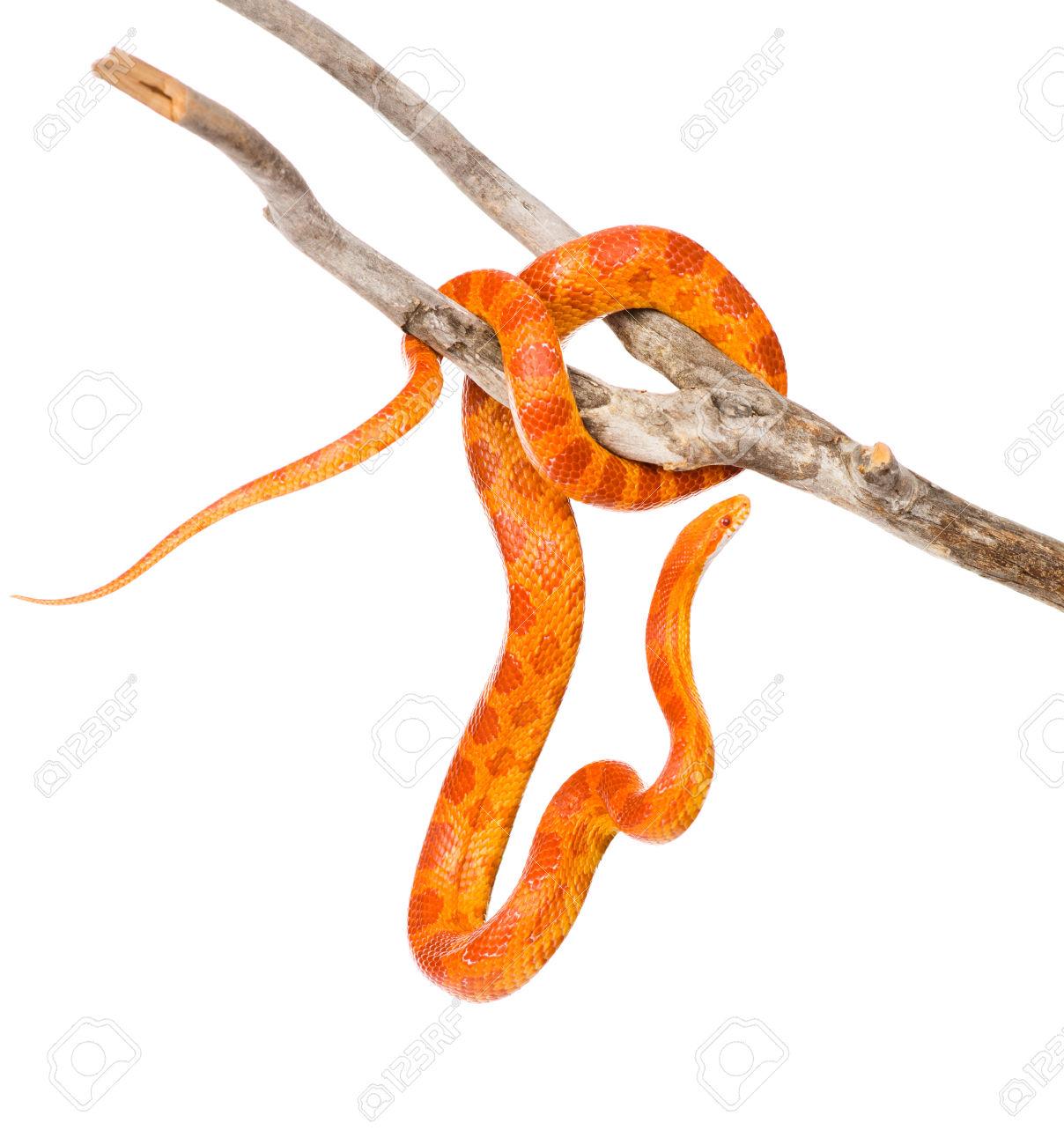 Creamsicle Corn Snake Elaphe Guttata Guttata On A Dry Branch.