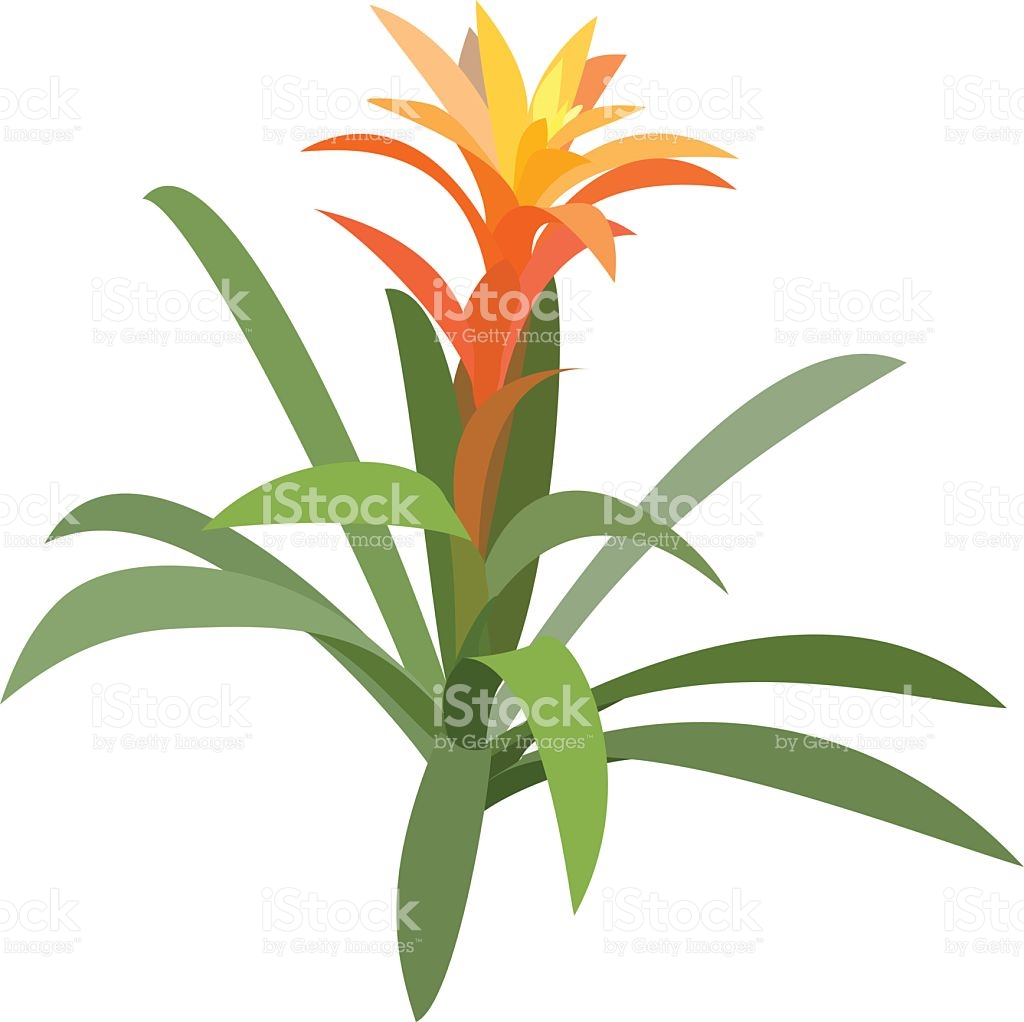 Bromelia stock vector art 94367140.